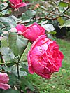 Rose 'Pink Claud'